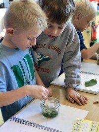 Kindergarten students smashing leaves in science